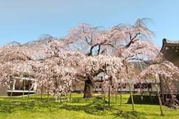 しだれ桜 霊宝館
