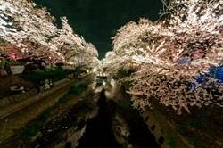 岩倉五条川桜まつり ライトアップ