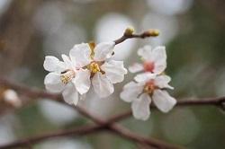 吉高の大桜 お祭り