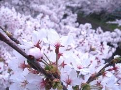 岩倉五条川桜まつり 内容