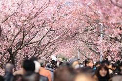 伊豆高原桜祭り 期間