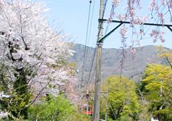 桜 大平台 名所
