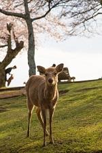 奈良公園 お花見