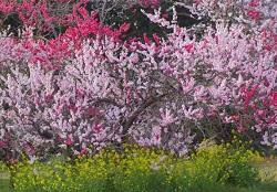 峠の茶屋 吉高の大桜