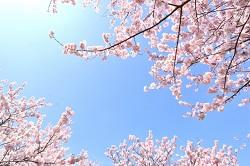 伊豆高原桜祭り イベント