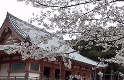 五重塔 桜 春