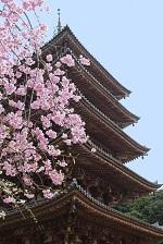 京都醍醐寺 桜 アクセス