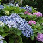 白山神社の文京あじさいまつり2020!見頃や開花は?御朱印や屋台は?