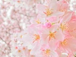 極楽寺 春 桜