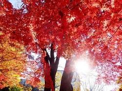 八幡平 紅葉まつり 時期