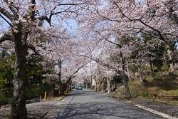 伊豆高原桜並木 アクセス
