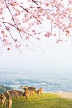 奈良公園 鹿 桜