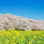 幸手権現堂桜堤2020の見頃と開花!桜まつりやライトアップは?屋台や混雑は?