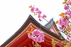 京都清水寺 アクセス 桜