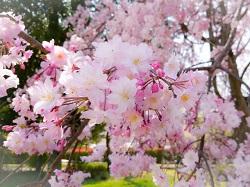 奈良公園 桜 アクセス