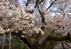吉高の大桜 駐車場