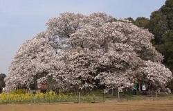 吉高の大桜 奇跡の桜