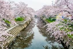 岩倉五条川桜まつり アクセス