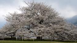 箱根園 桜