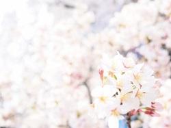 岩倉五条川桜まつり 駐車場
