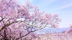 伊豆高原 桜並木 開花