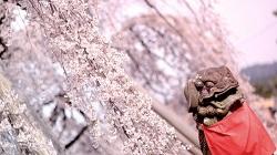 桜 ピクニック