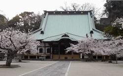 光明寺 桜 おすすめ