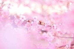 桜 鎌倉 見頃