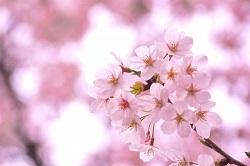 お花見 おすすめ