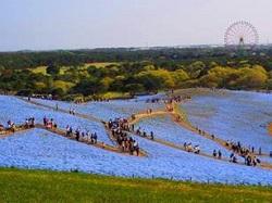 ネモフィラ ひたち海浜公園