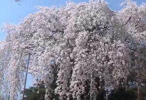 清水公園 しだれ桜