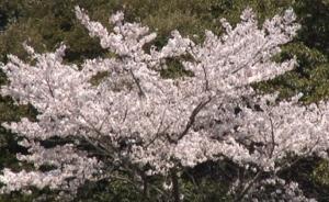 清水公園 劫初の桜