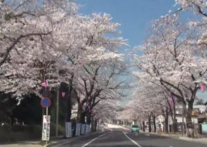 清水公園 桜並木