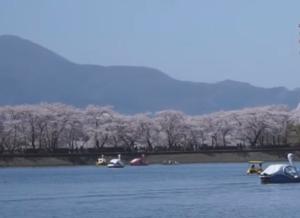 高松の池 桜 ボート