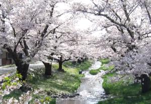 観音寺川 桜並木