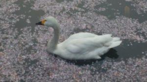 白鳥と桜の花筏