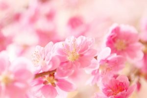 ハナモモ ピンク