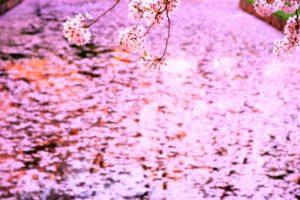 きれいなピンクの花筏