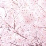 清水公園の桜2020の花見頃と開花!桜まつりやライトアップは?混雑は?