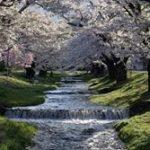 観音寺川の桜2019の見頃と開花予想!桜まつりやライトアップは?