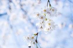 観音寺川 桜 開花