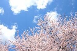 青空のもとに咲く満開の桜
