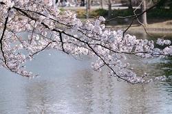 観音寺川 桜 見どころ
