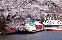 高松の池 桜とボート
