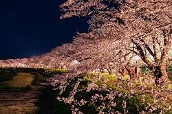 観音寺川 桜 ライトアップ