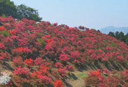 笠間つつじ公園 富士山に咲く満開のつつじ
