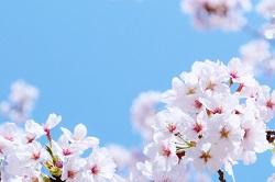 観音寺川桜まつり 期間