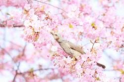 観音寺川 桜