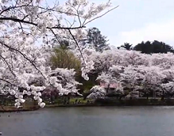 高松の池と満開の桜