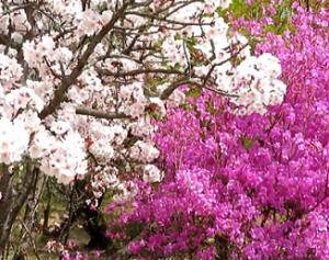 御室桜 ヤマツツジ 仁和寺